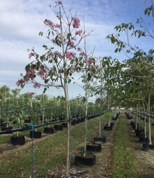 jual pohon tabebuya Tanah Laut