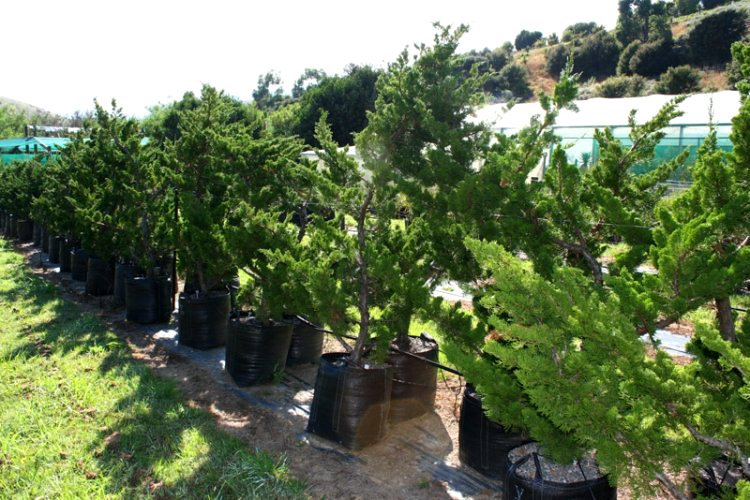 Jual Pohon Cemara di Brebes