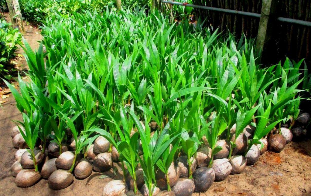 jual bibit kelapa Aceh Jaya