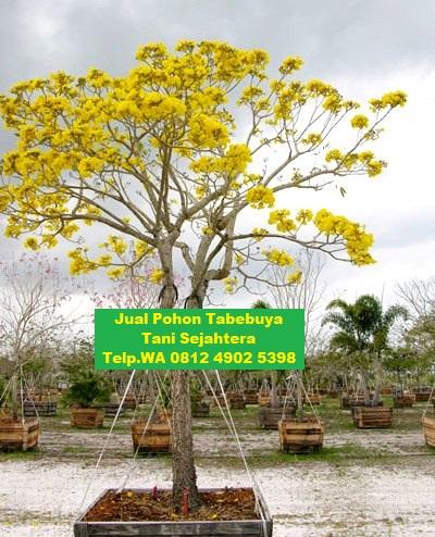 jual pohon tabebuya Nias