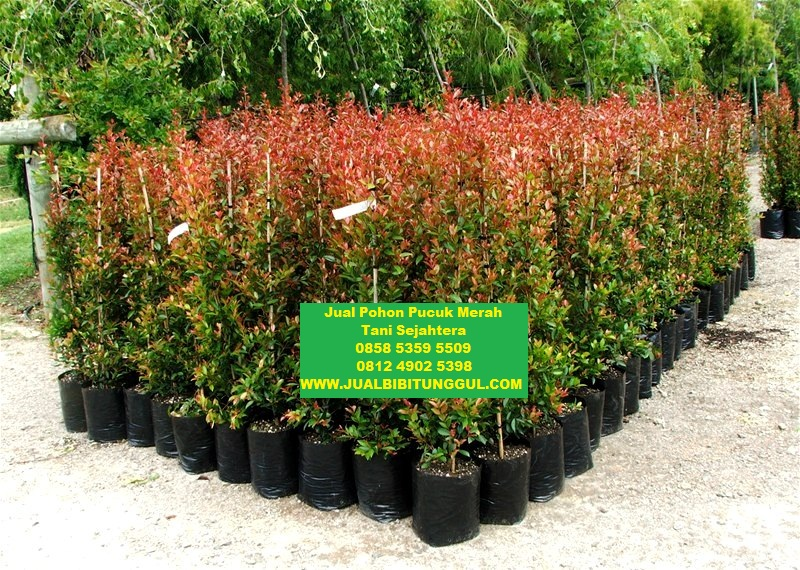 jual bibit pohon pucuk merah