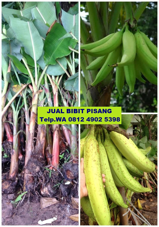jual bibit pisang di Mamuju